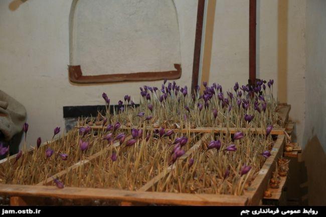 تصاویر: بازدید فرماندار از طرح ابتکاری جوان جمی در تولید زعفران!
