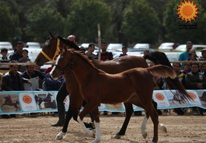 شو سواره اسبان ایرانی در جم برگزار شد
