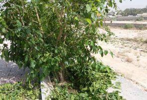 پرورش کرم ابریشم در جم، بلایی که دامنگیر درختان توت شد+ تصاویر