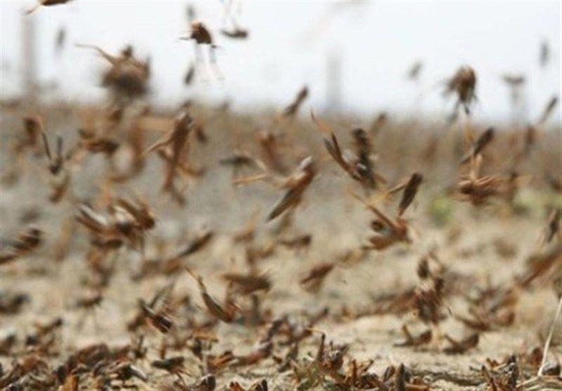 ملخهای صحرایی کشاورزی استان بوشهر را تهدید میکند