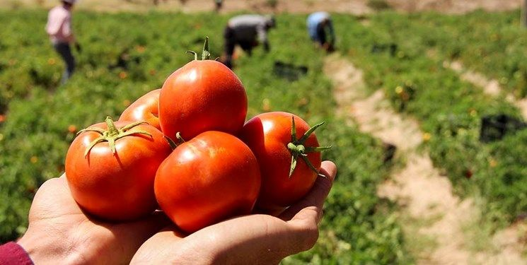 وقتی خواب گوجه برای لاکچریشدن تعبیر شد/ سود دلالان از کمیابی محصولات در بازار