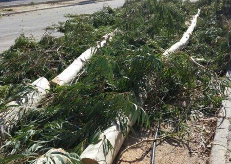 قطع درختان در مجتمع مسکونی پارس جم/ مدیر مجتمع مسکونی: در حال ایمن سازی درختان با ریشه های ضعیف هستیم/سقوط  ۳۷ درخت بزرگ در بارندگی/ هرس درختان برای ایمن سازی و رشد مجدد است+تصاویر