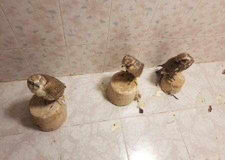 محموله قاچاق پرندگان شکاری در بوشهر کشف شد